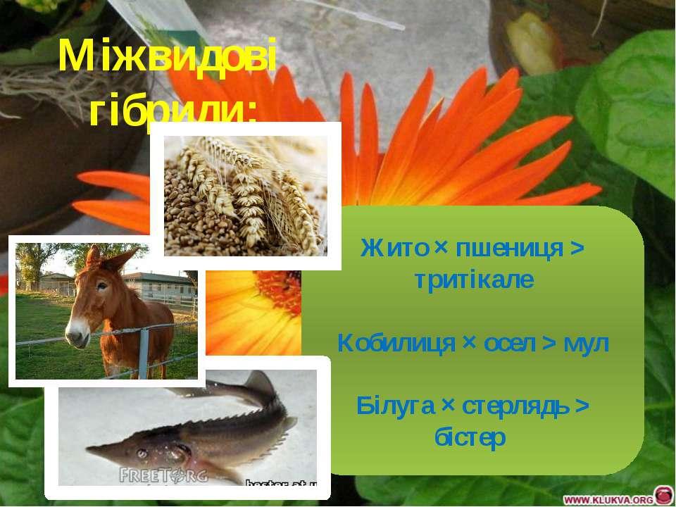 Міжвидові гібриди: Жито × пшениця > тритікале Кобилиця × осел > мул Білуга × ...