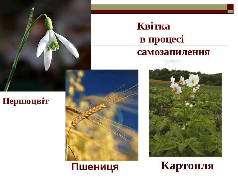 Картопля Квітка в процесі самозапилення Пшениця Першоцвіт