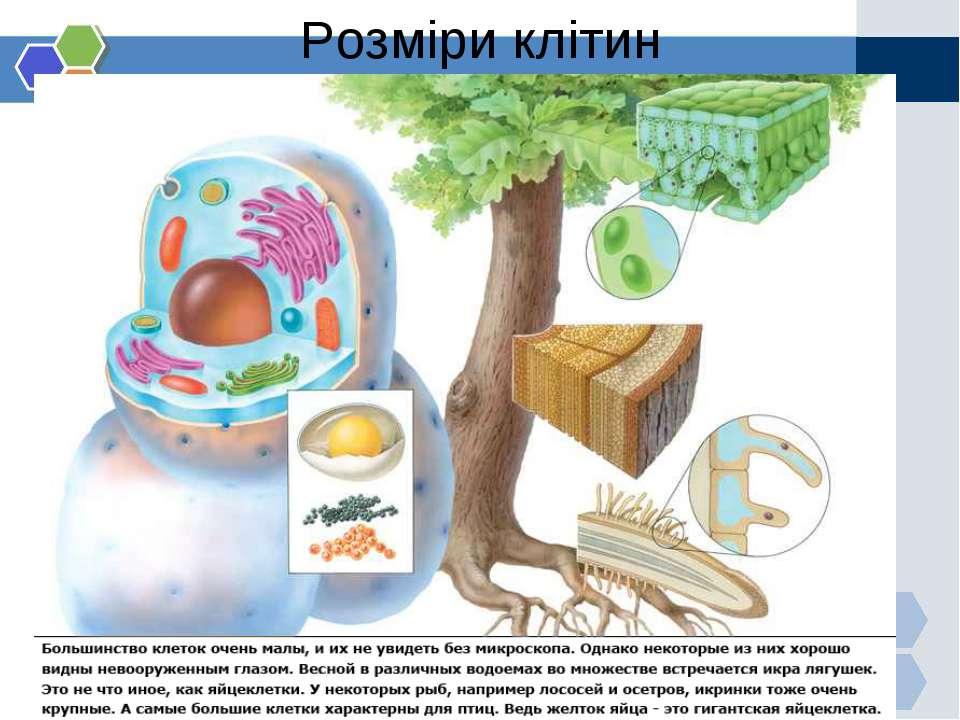 Розміри клітин
