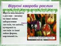Вірусні хвороби рослин Віруси викликають у рослин - мозаїку чи інші зміни заб...