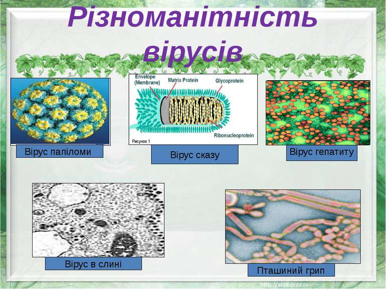Різноманітність вірусів Вірус папіломи Вірус сказу Вірус в слині Пташиний гри...