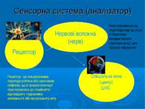 Сенсорна система (аналізатор) Рецептор Нервові волокна (нерв) Спеціальна зона...