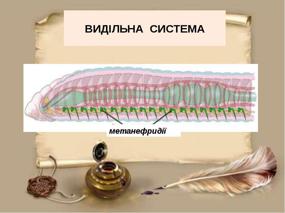 ВИДІЛЬНА СИСТЕМА метанефридії