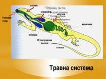 Травна система Ротовий отвір Підшлункова залоза печінка стравохід клоака шлун...