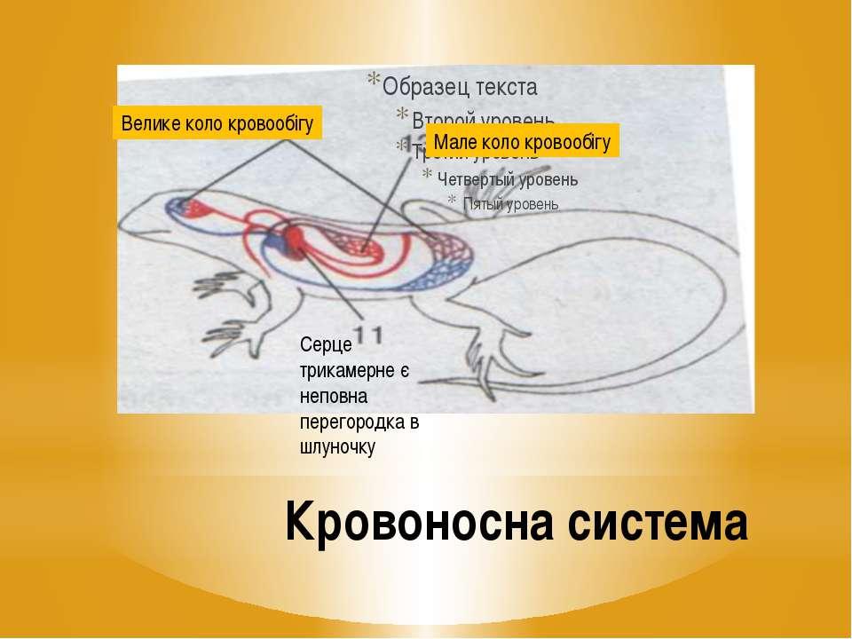 Кровоносна система Серце трикамерне є неповна перегородка в шлуночку Мале кол...