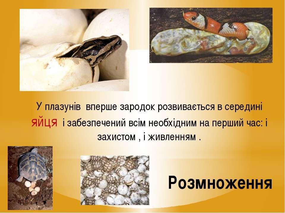 Розмноження У плазунів вперше зародок розвивається в середині яйця і забезпеч...