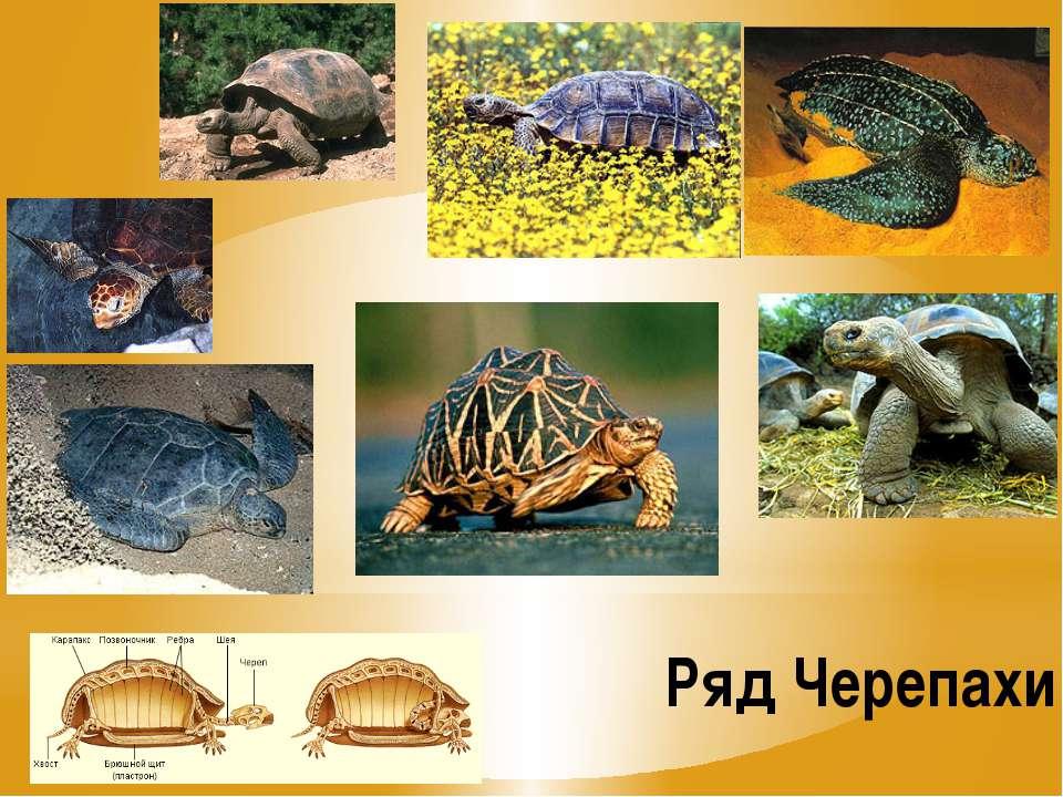 Ряд Черепахи