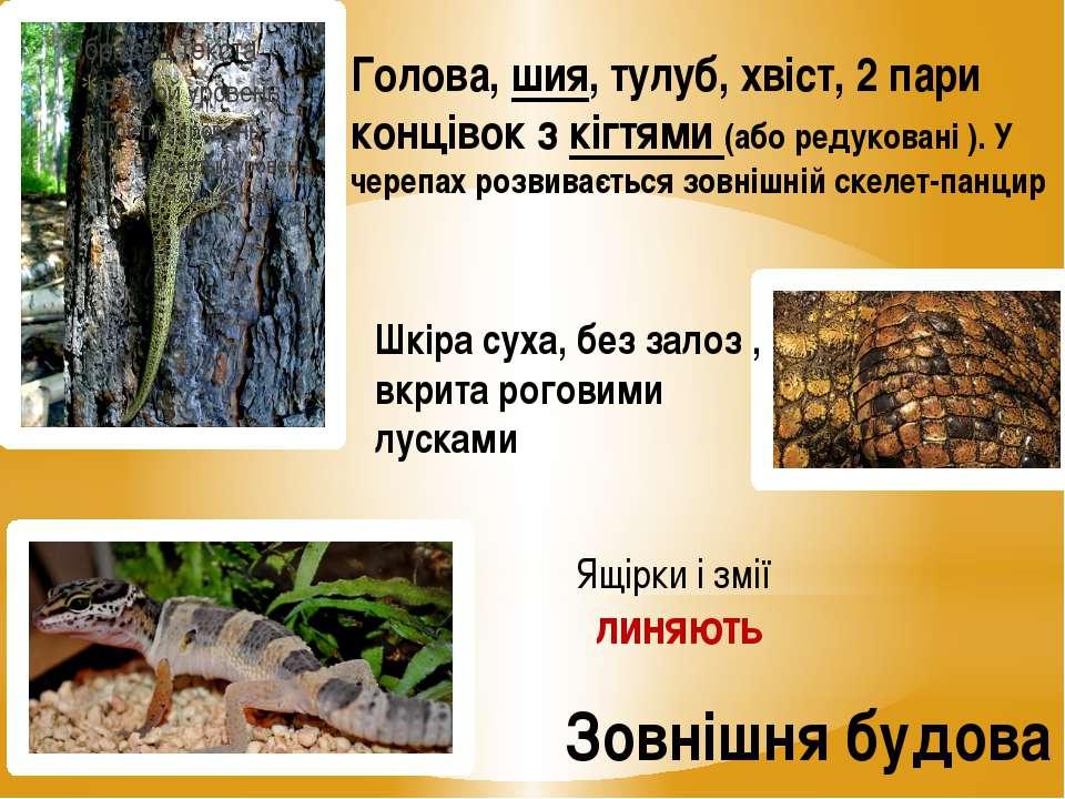 Зовнішня будова Голова, шия, тулуб, хвіст, 2 пари концівок з кігтями (або ред...
