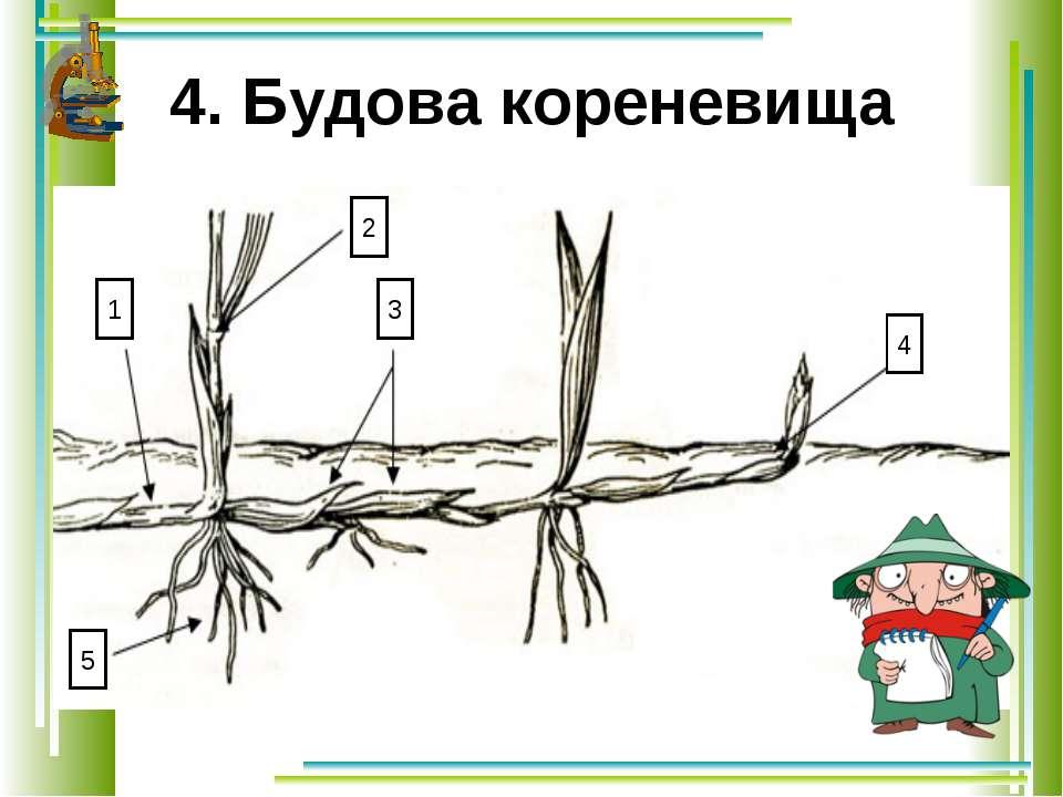 4. Будова кореневища