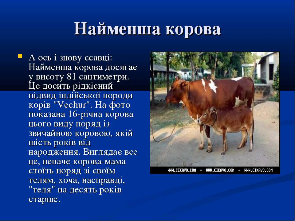 Найменша корова А ось і знову ссавці: Найменша корова досягає у висоту 81 сан...