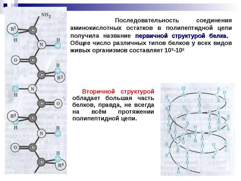 Последовательность соединения аминокислотных остатков в полипептидной цепи по...
