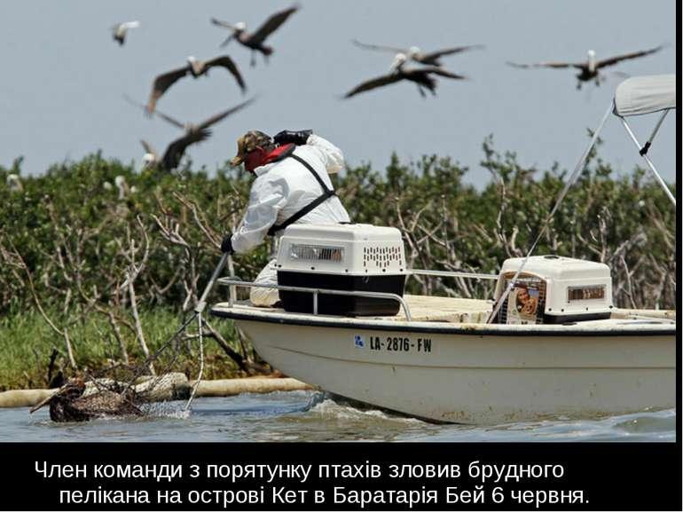 Член команди з порятунку птахів зловив брудного пелікана на острові Кет в Бар...