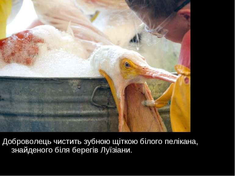 Доброволець чистить зубною щіткою білого пелікана, знайденого біля берегів Лу...