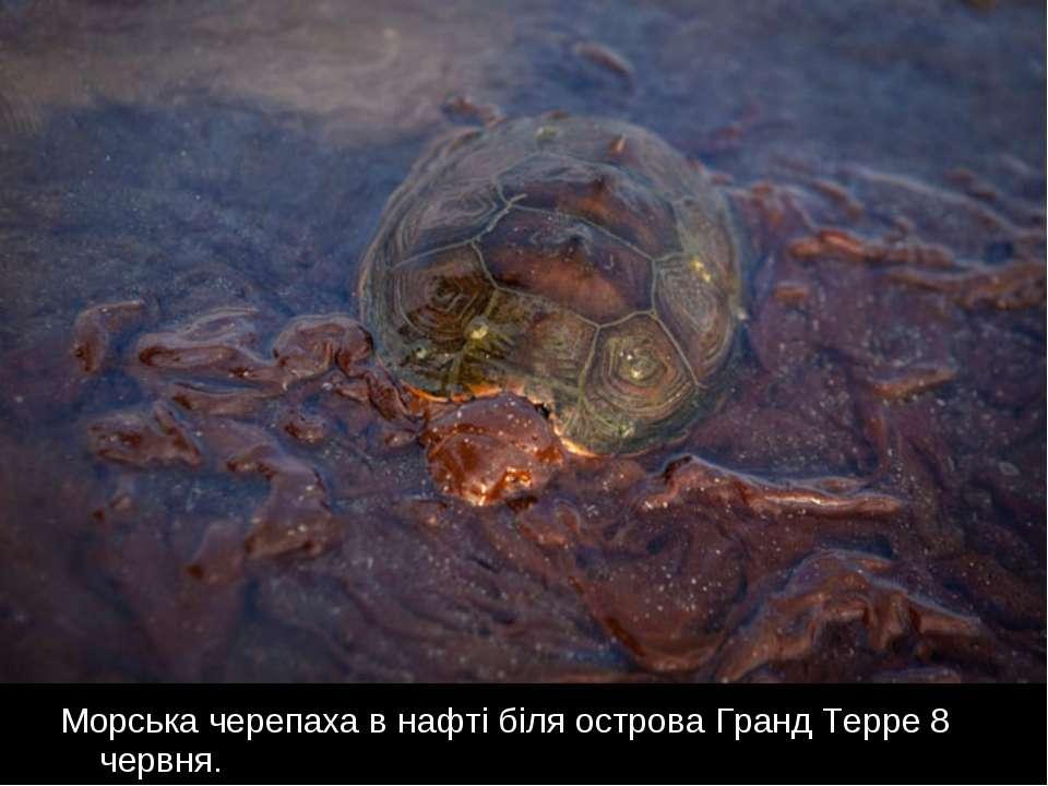 Морська черепаха в нафті біля острова Гранд Терре 8 червня.