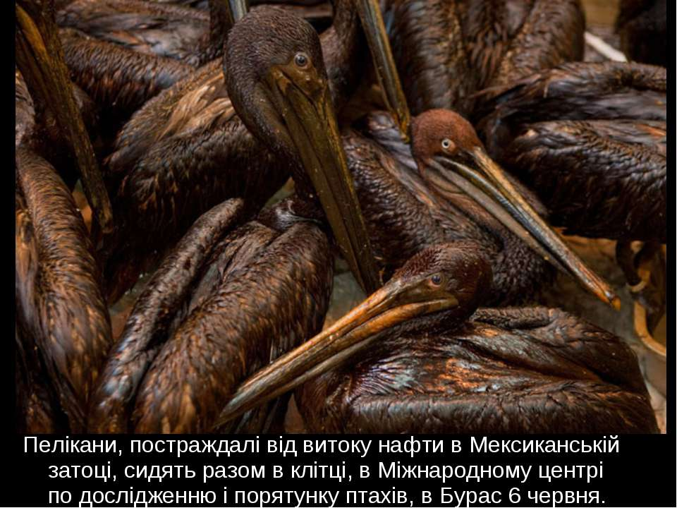 Пелікани, постраждалі від витоку нафти в Мексиканській затоці, сидять разом в...