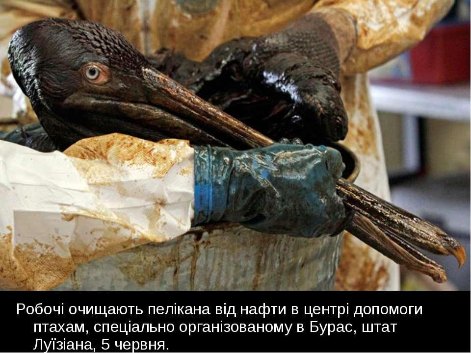 Робочі очищають пелікана від нафти в центрі допомоги птахам, спеціально орган...