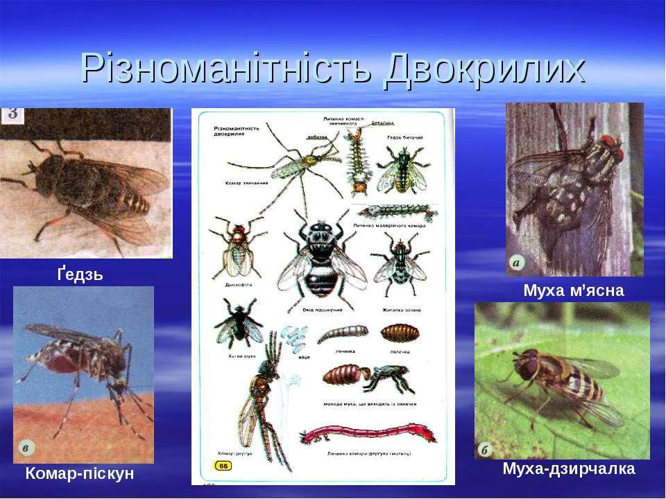 Різноманітність Двокрилих Ґедзь Муха м'ясна Муха-дзирчалка Комар-піскун