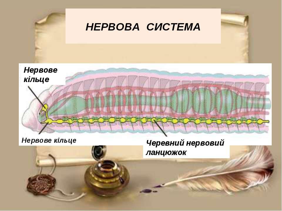 НЕРВОВА СИСТЕМА Нервове кільце Нервове кільце Черевний нервовий ланцюжок