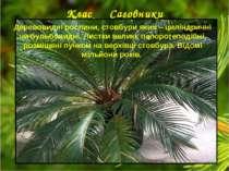 Клас Саговники Деревовидні рослини, стовбури яких – циліндричні чи бульбовидн...