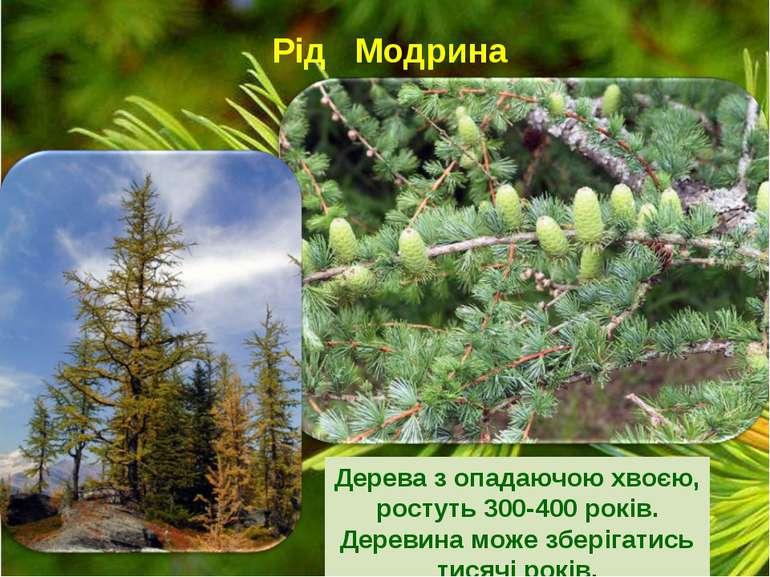 Рід Модрина Дерева з опадаючою хвоєю, ростуть 300-400 років. Деревина може зб...