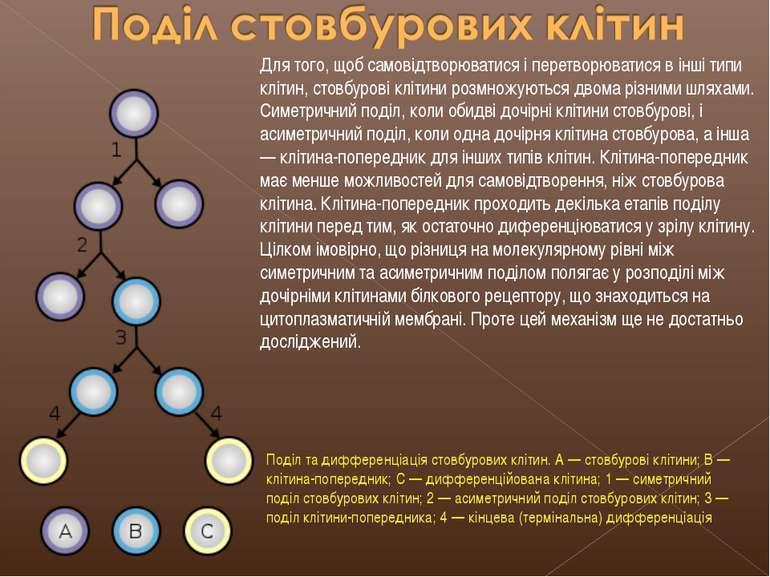 Для того, щоб самовідтворюватися і перетворюватися в інші типи клітин, стовбу...