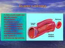 Будова капіляра Стінка капілярів має дві оболонки: внутрішню ендотеліальну і ...