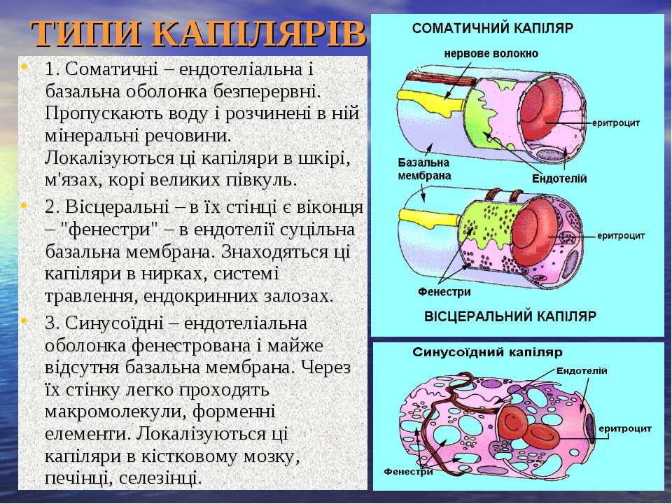 ТИПИ КАПІЛЯРІВ 1. Соматичні – ендотеліальна і базальна оболонка безперервні. ...
