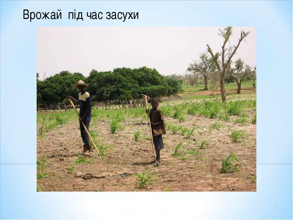 Врожай під час засухи