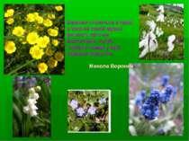 Барвінок стелеться в траві; в зеленій свіжій мураві рясніють квіточки: жовтог...