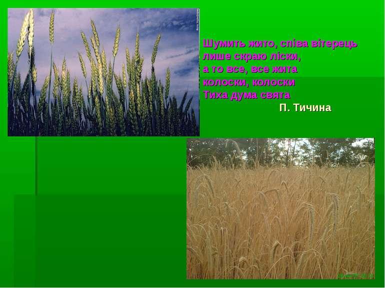 Шумить жито, співа вітерець лише скраю ліски, а то все, все жита колоски, кол...