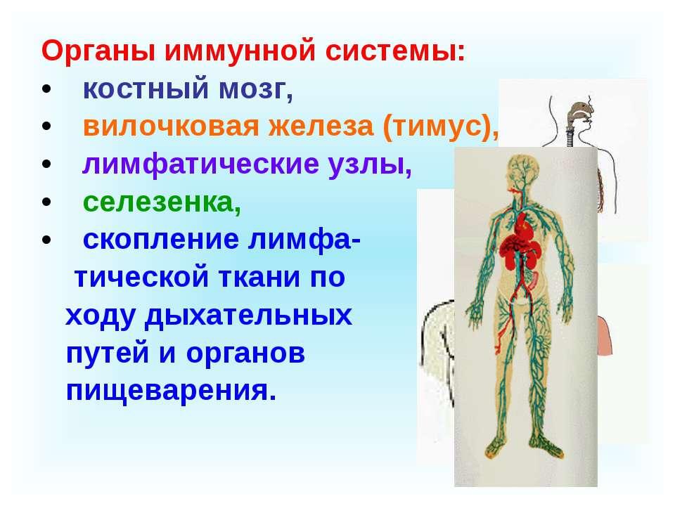 Органы иммунной системы: костный мозг, вилочковая железа (тимус), лимфатическ...