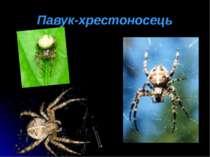 Павук-хрестоносець