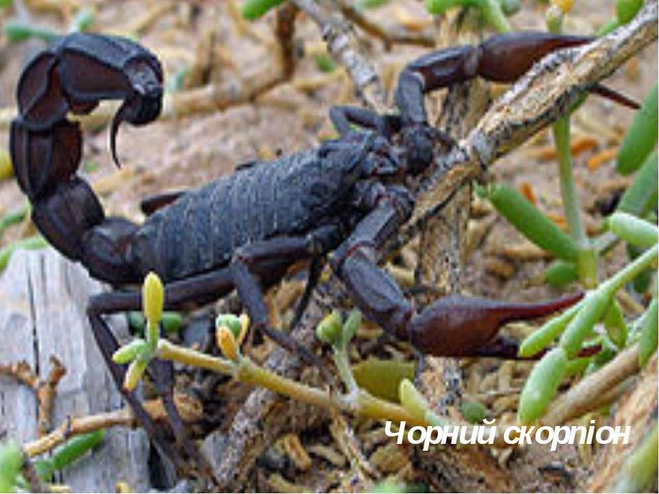 Чорний скорпіон