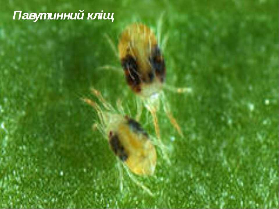 Павутинний кліщ