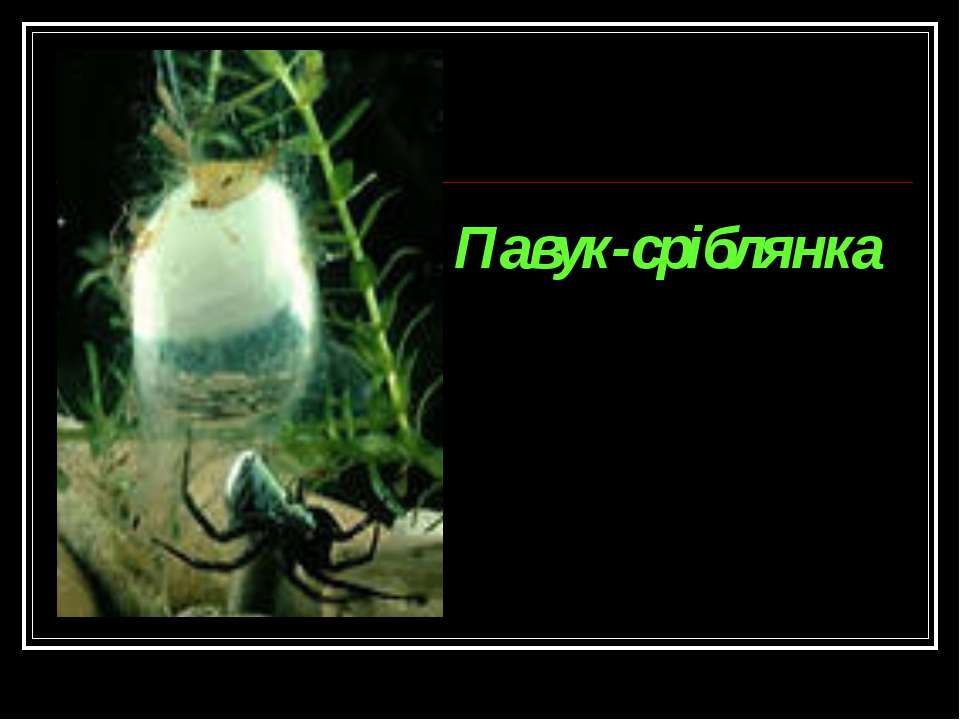 Павук-сріблянка