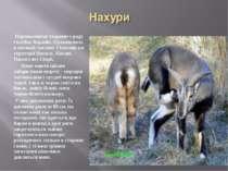 Парнокопитні тварини з роду голубих баранів. Проживають в високій частині Гім...