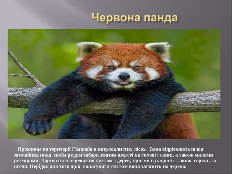Проживає на території Гімалаїв в широколистих лісах. Вона відрізняються від з...