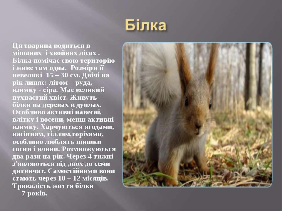Ця тварина водиться в мішаних і хвойних лісах . Білка помічає свою територію ...