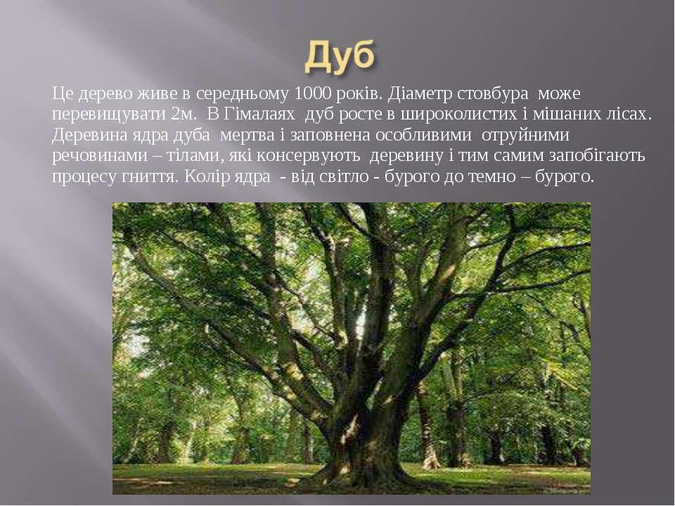 Це дерево живе в середньому 1000 років. Діаметр стовбура може перевищувати 2м...