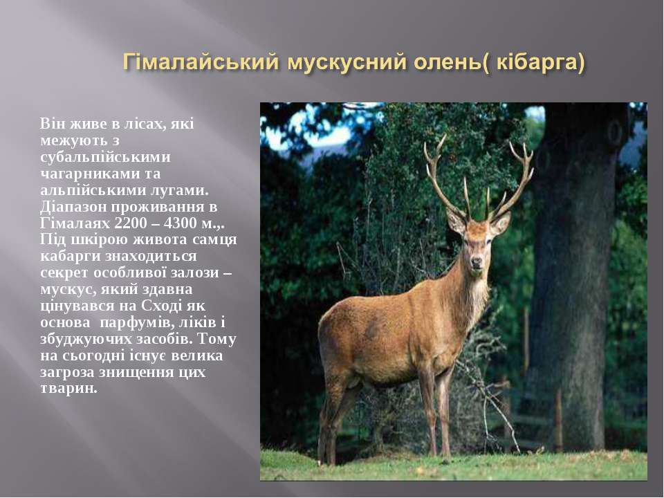 Він живе в лісах, які межують з субальпійськими чагарниками та альпійськими л...