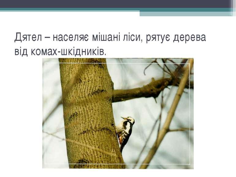 Дятел – населяє мішані ліси, рятує дерева від комах-шкідників.