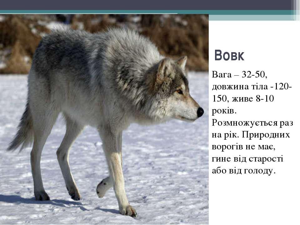 Вовк Вага – 32-50, довжина тіла -120-150, живе 8-10 років. Розмножується раз ...