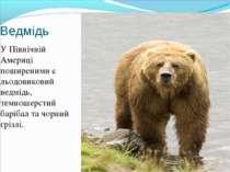 Ведмідь У Північній Америці поширеними є льодовиковий ведмідь, темношерстий б...