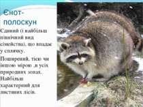 Єнот-полоскун Єдиний (і найбільш північний вид сімейства), що впадає у сплячк...