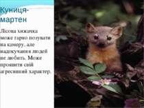 Куниця-мартен Лісова хижачка може гарно позувати на камеру, але надокучання л...