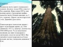 Секвоя Названа на честь одного індіанського племені. Досягає понад 100м у вис...