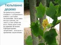 Тюльпанне дерево Зустрічається в умовах помірного і субтропічного клімату з д...