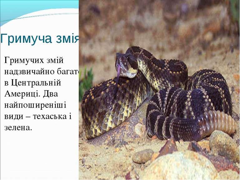 Гримуча змія Гримучих змій надзвичайно багато в Центральній Америці. Два найп...