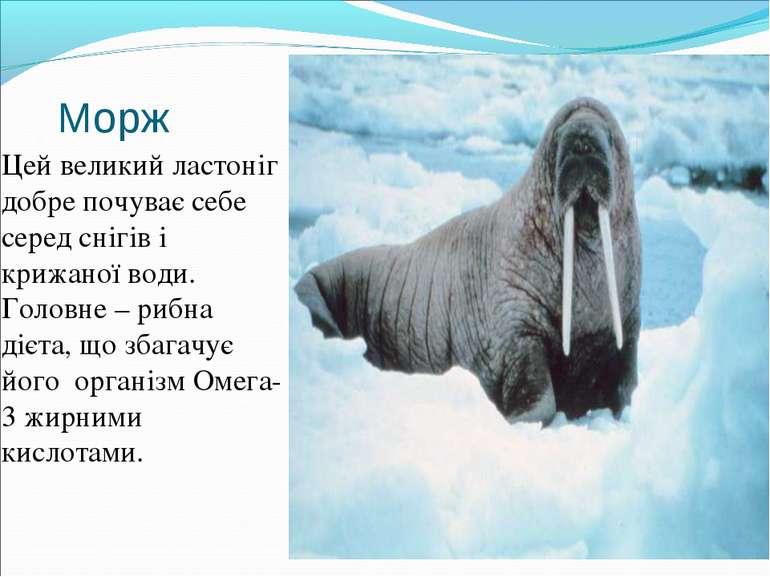 Морж Цей великий ластоніг добре почуває себе серед снігів і крижаної води. Го...