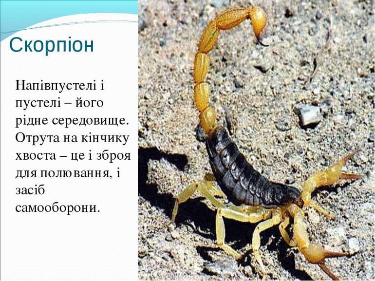 Скорпіон Напівпустелі і пустелі – його рідне середовище. Отрута на кінчику хв...